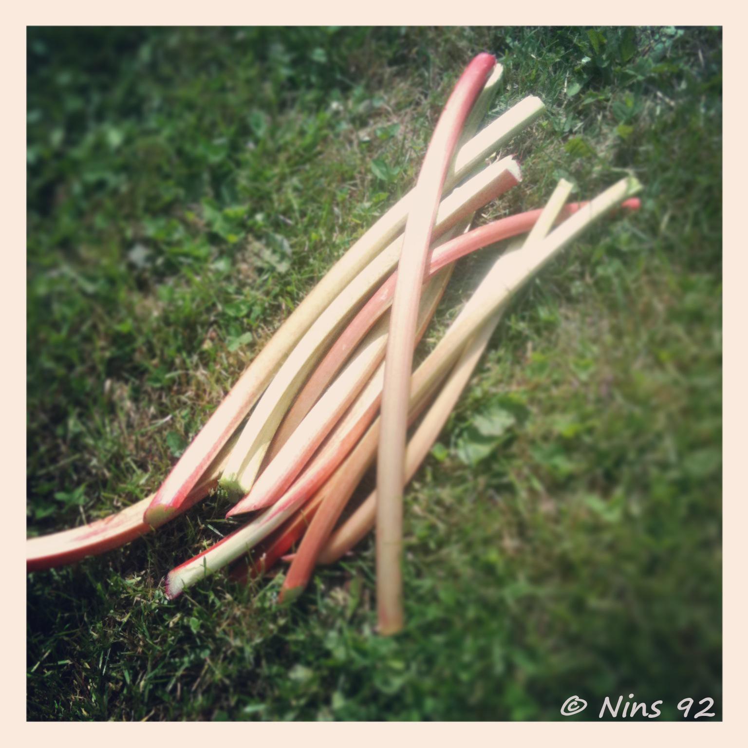 rhubarbe06